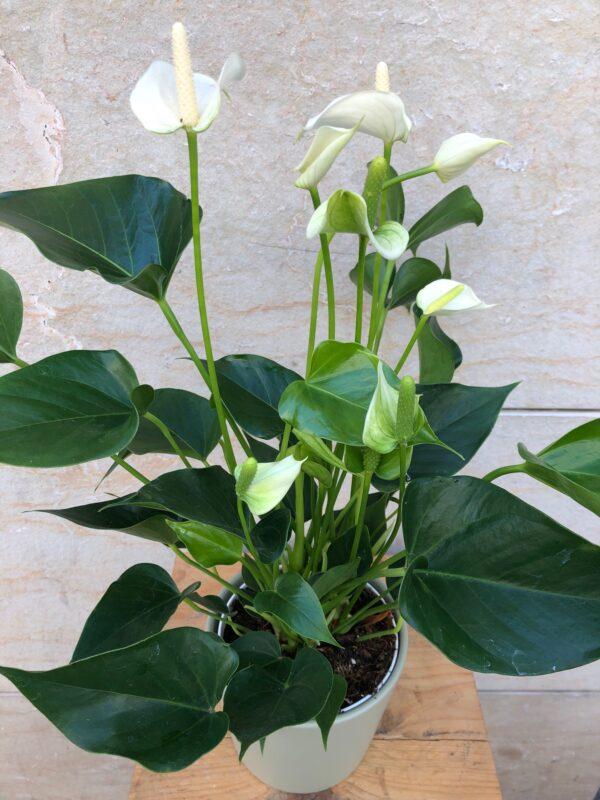 Anthuriun blanc amb cerámica verda