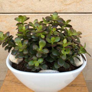 Centra de Succulentes variades