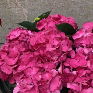 Hostensia rosa