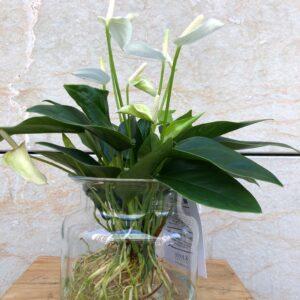 Anthuriun blanc amb gerro de vidre