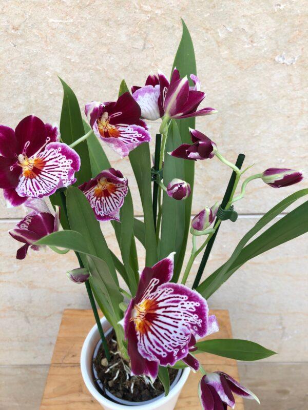 Miltònia Orquídia amb ceràmica