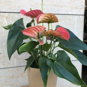 Anthurium-grans-flors-pasanau (1)