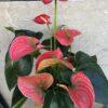 Anthurium-grans-flors-pasanau (2)