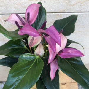 Anthurium-vidre-flors-pasanau (2)