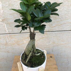 ficus-ginseng-flors-pasanau (1)