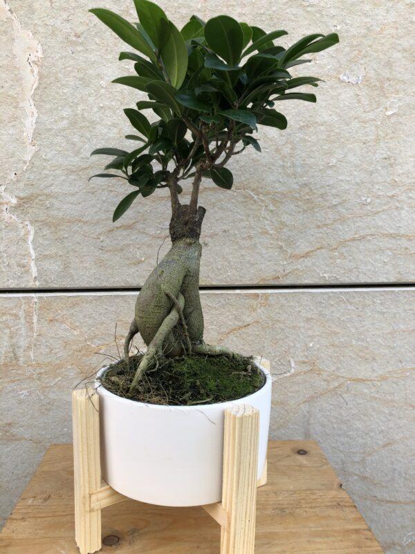 ficus-ginseng-flors-pasanau (2)
