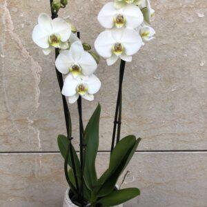 orquidea-flors-pasanau